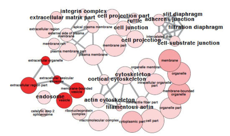 Transcriptional Networks In Podocytes